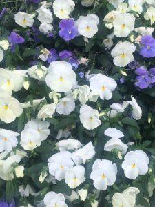 Blå och vita violer på Södermannag 21.6 2016